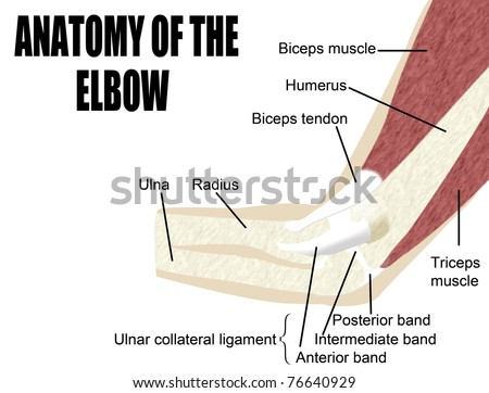Anatomy Elbow Bones Muscles Arm Useful Stock Vector Royalty Free