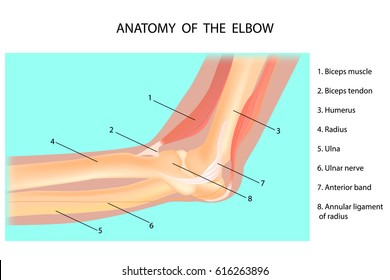 anatomy of the elbow  cubitus  vector illustration