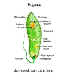 Anatomy of euglena. Vector diagram for educational, science, and biological use