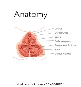 Anatomy of female internal genital organs. Pelvic muscles. Kegel exercises. Women reproductive health.