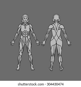 Anatomy of female muscular system, exercise and muscle guide. Women muscle vector outline art, front and back view. Vector illustration
