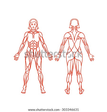 Anatomy Female Muscular System Exercise Muscle Stock Vector (Royalty ...
