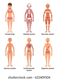 Anatomy of female. Vector illustration of nerves and muscular systems, heart and other organs. Woman skeleton anatomy, nerve and digestion system female
