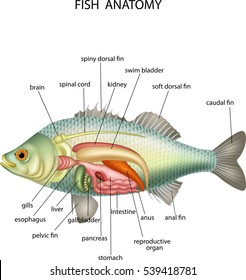Anatomy Fish Stock Photo (Photo, Vector, Illustration) 541242241 ...