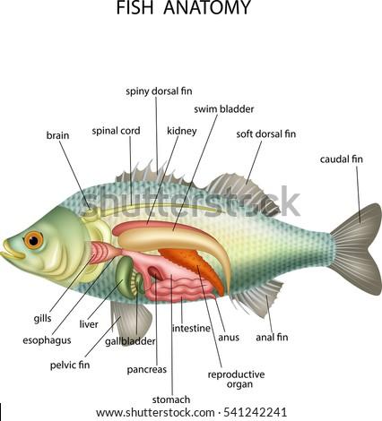 Anatomy Fish Stock Vector Royalty Free 541242241 Shutterstock