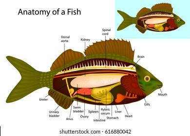 Internal gills stock vectors images vector art shutterstock anatomy of a fish fish internal organs vector illustration ccuart Images