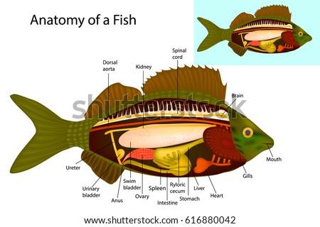 Anatomy Fish Fish Internal Organs Vector Stock Vector Royalty Free