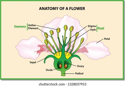 anatomy of a flower  flower parts  detailed diagram with cross section   useful for