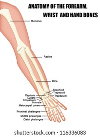 Anatomy of the Forearm, Wrist and Hand Bones (useful for education in schools and clinics ) - vector illustration
