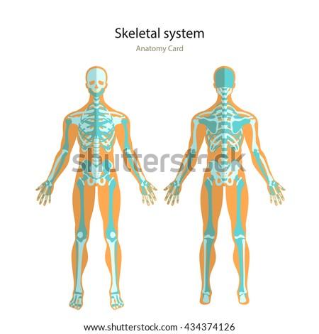 Anatomy Guide Human Skeleton Anatomy Didactic Stock Vector Royalty
