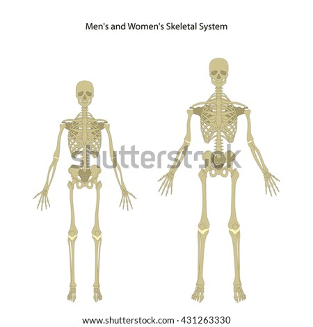 Anatomy Guide Male Female Skeleton Front Stock Vector Royalty Free