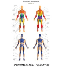 Anatomy guide. Male skeleton and muscular system with explanations. Front and back view.