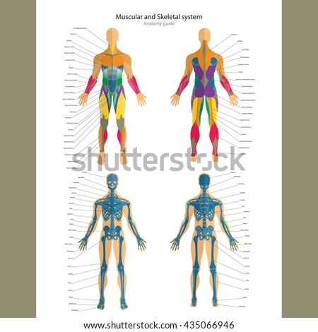 Anatomy Guide Male Skeleton Muscular System Stock Vector (Royalty ...