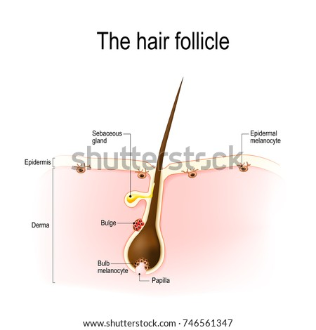 Anatomy Hair Follicle Distribution Differentiated Immature Stock