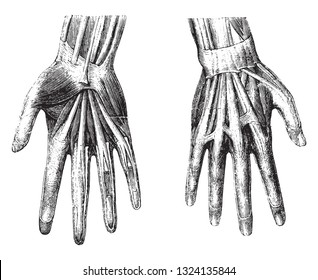Anatomy of the hand of man, vintage engraved illustration. From Zoology Elements from Paul Gervais.