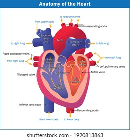 Anatomy of the Heart Vector EPS file available
