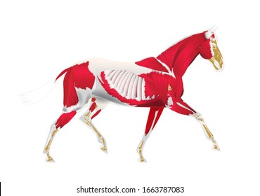 Anatomy of horse - muscles and bones. Horse info graphic poster design.