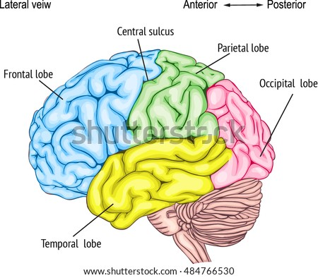 anatomy human brain areas cerebral cortex stock vector (royalty freeanatomy of the human brain areas of the cerebral cortex anatomy of the central