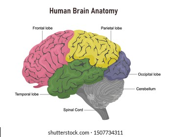 Anatomy of the human brain in departments with names. Vector illustration on white background.