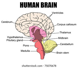 Human brain diagram side view parts stock photo edit now 83941303 anatomy of human brain vector illustration for basic medical education for clinics ccuart Gallery