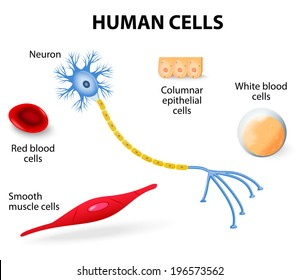 Anatomy of human cells (neuron, red and white blood cell, columnar epithelial cells and smooth muscle cells). vector illustration