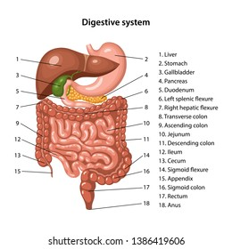 Anatomy of the human digestive system with description of the corresponding internal parts. Anatomical vector illustration in flat style isolated over white background.