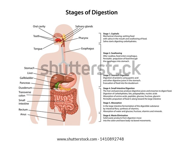 Anatomy Human Digestive System Description Corresponding Stock Vector Royalty Free 1410892748