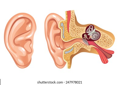 Anatomy of Human Ear - Cross section - Illustration