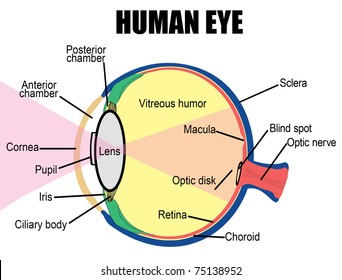 anatomy of human eye, vector illustration (for basic medical education, for  clinics &