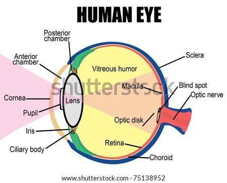 Anatomy Human Eye Vector Illustration For Stock Vector Royalty Free