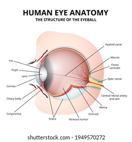 anatomy of the human eyeball in section, detailed medical image on a white background