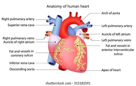 Heart Anatomy Images Stock Photos Vectors Shutterstock