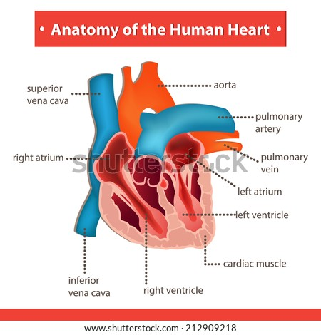 Anatomy Human Heart Stock Vector Royalty Free 212909218 Shutterstock