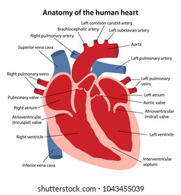 Anatomy human heart cross sectional diagram stock vector 1043455039 anatomy of the human heart cross sectional diagram of the heart with main parts labeled ccuart Image collections
