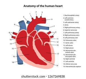 Anatomy of the human heart. Cross sectional diagram of the heart with main parts labeled. Vector illustration isolated on white background.