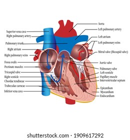 Anatomy of the human heart. Cross sectional diagram of the heart with main parts labeled. Vector illustration