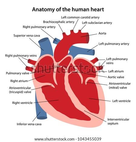 Anatomy Human Heart Cross Sectional Diagram Stock Vector (Royalty ...