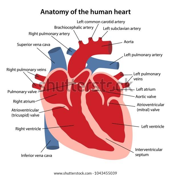 anatomy human heart cross sectional diagram stock vector (royalty free)  1043455039  shutterstock