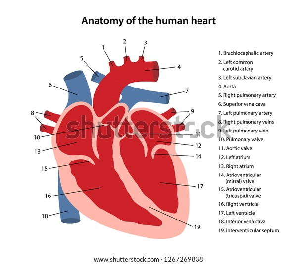 Anatomy Human Heart Cross Sectional Diagram Stock Vector ...