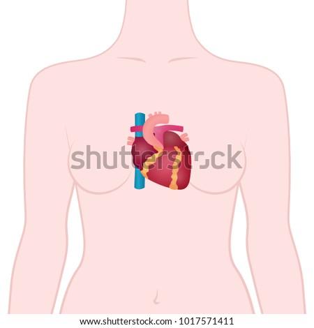 Anatomy Human Heart Location Heart Human Stock Vector (Royalty Free ...