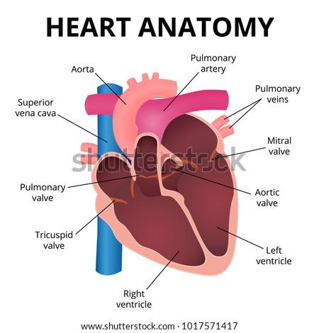 Anatomy Human Heart Organ Cut Operation Stock Vector Royalty Free