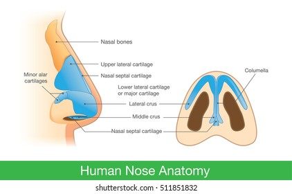 Ilustraciones, imágenes y vectores de stock sobre Nose ... on nose shapes, nose cuffs, nose bone, nose cartilage, nose ulcers, nose smelling, nose cavity, nose anatomy, nose structure, nose types, nose piercing, nose rings, nose drawing, nose sketch, nose infection symptoms, nose breathing, nose and throat, nose jokes, nose cartoon, nose blind,