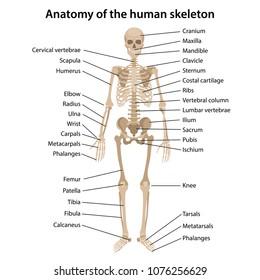 Human Skeleton Labeled Images, Stock Photos & Vectors   ShutterstockShutterstock