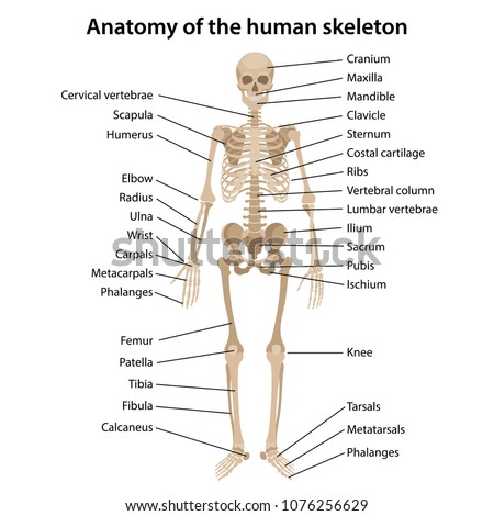 Anatomy Human Skeleton Main Parts Labeled Stock Vector (Royalty Free ...