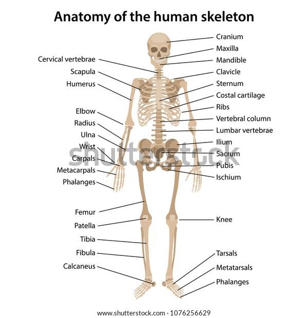 Anatomy    Human    Skeleton    Main Parts    Labeled    Stock Vector