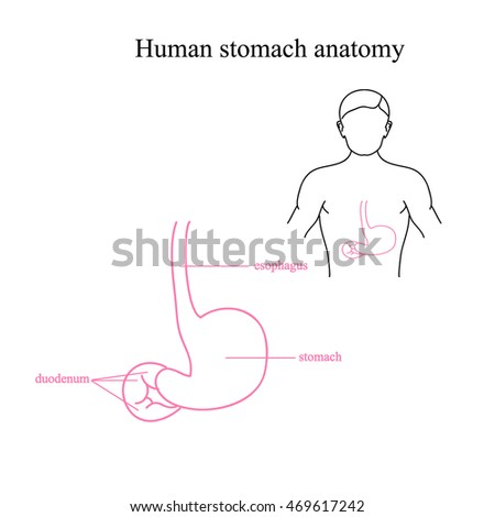 Anatomy Human Stomach Location Stomach Human Stock Vector (Royalty ...
