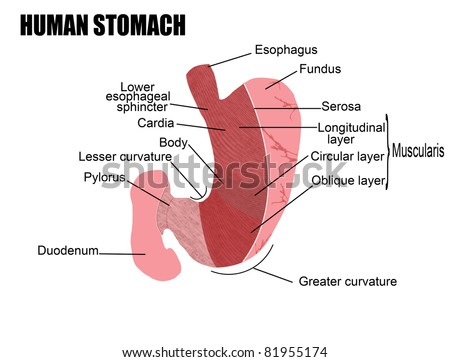 Anatomy Human Stomach Vector Illustration For Stock Vector Royalty