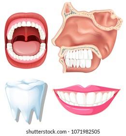 Anatomy of Human Teeth illustration