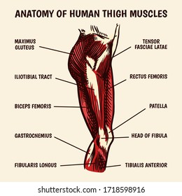 Anatomy of human thigh muscles in vintage style. Hand drawn engraved monochrome sketch. Vector illustration. Poster or banner for biology lesson. Description of the body part.