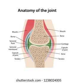 Anatomy of the joint with main parts labeled. Image of the structure of a healthy joint is isolated on a white background. Vector illustration